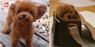 Cận cảnh chú chó  Teddy bear sống  quá sức dễ thương.