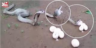 Rùng rợn cảnh tượng rắn hổ mang nôn ra... trứng