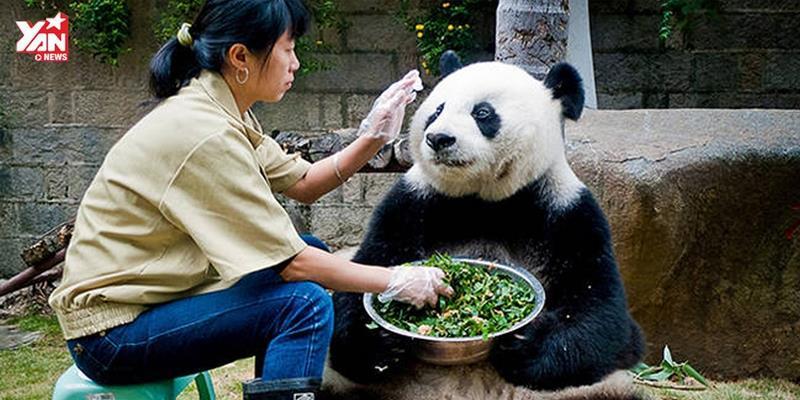 Cuộc trò chuyện hút triệu lượt xem của gấu trúc và người nuôi