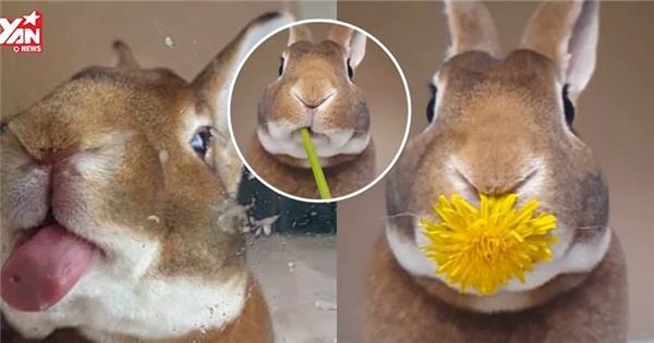 Chú thỏ đáng yêu này đang khiến cư dân mạng thế giới phát cuồng