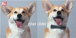 Cười đau bụng với clip 100 năm lịch sử loài chó Corgi