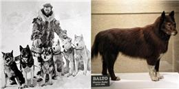 Đàn chó kéo xe dũng cảm vượt bão tuyết cứu sống cả một thị trấn