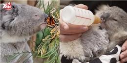 Thích thú với hình ảnh đáng yêu của chú koala mồ côi