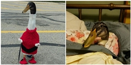 Vì sao chú vịt đóng bỉm đi giày đỏ này đốn tim hàng triệu cư dân mạng?