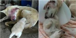 Rơi nước mắt cảnh chó mẹ bị thương nặng vẫn cố lết về cho con bú