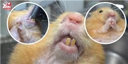 Ca cắt răng cho chú chuột hamster tại nhà gây sốt