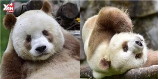 Ngộ nghĩnh chú gấu trúc màu nâu duy nhất còn sống trên thế giới