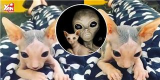 Chú mèo nổi tiếng vì giống hệt người ngoài hành tinh