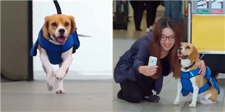 Một ngày làm việc của  nhân viên cún  tại sân bay