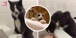 Sợ  sen  chết đuối,  boss  mèo kêu la thống thiết