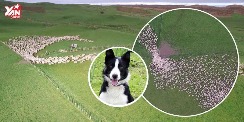 Ngoạn mục cảnh chó điều khiển hàng ngàn con cừu trên đồng cỏ