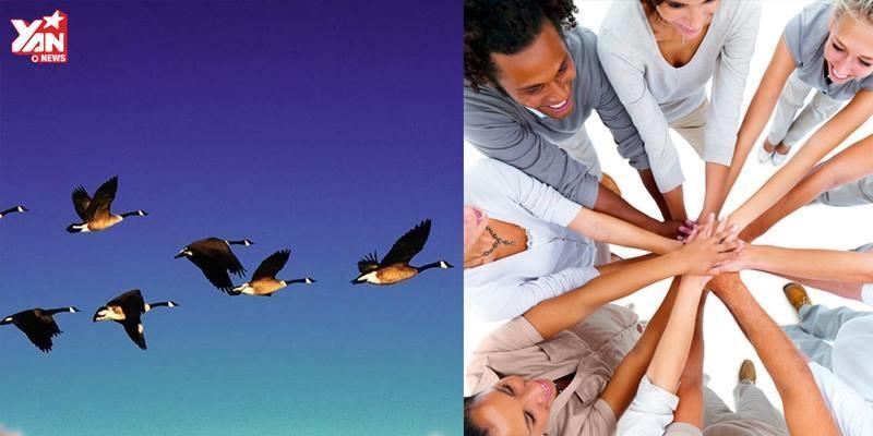 Tập tính của loài chim dạy chúng ta bài học quý về tinh thần đồng đội