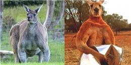Sau Roger lại có thêm một chú Kangaroo 6 múi lực lưỡng khác