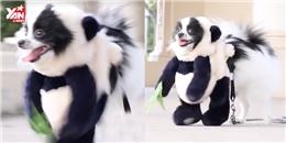 Chú chó cosplay gấu trúc thu hút hơn 50 triệu lượt xem