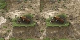 Xót xa tình cảnh 3 con bò sau vụ động đất ở New Zealand