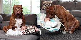 Khi chó Pitbull 76kg hóa thân thành 'vú em gương mẫu'
