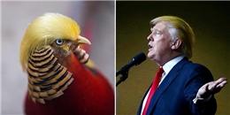 Chú chim trĩ bất ngờ nổi tiếng với 'kiểu tóc' giống tân Tổng thống Mỹ