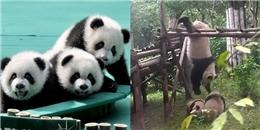 Nhũn tim với màn đấu võ vui nhộn của Kungfu Panda phiên bản đời thực