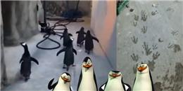Chết cười với công cuộc 'vượt ngục' bất thành của bè lũ cánh cụt
