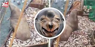 Chú hải cẩu bị mắc lưới ở lì trên thuyền không đi
