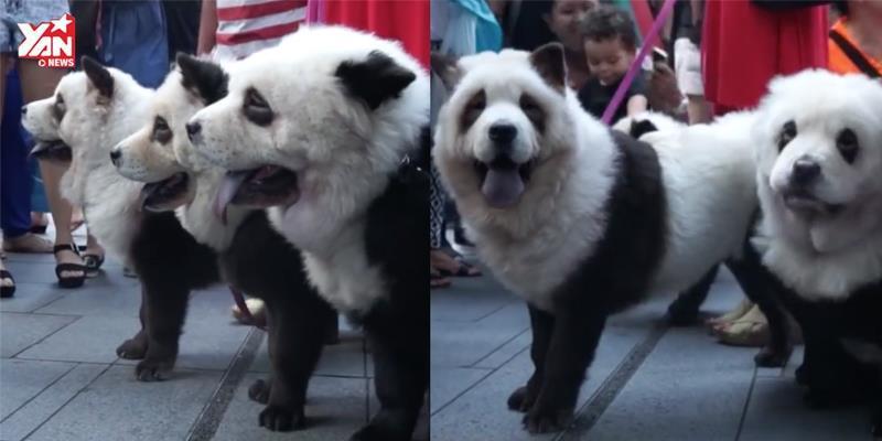 """Trào lưu nuôi """"gấu chó"""" siêu ngộ nghĩnh tại châu Á"""
