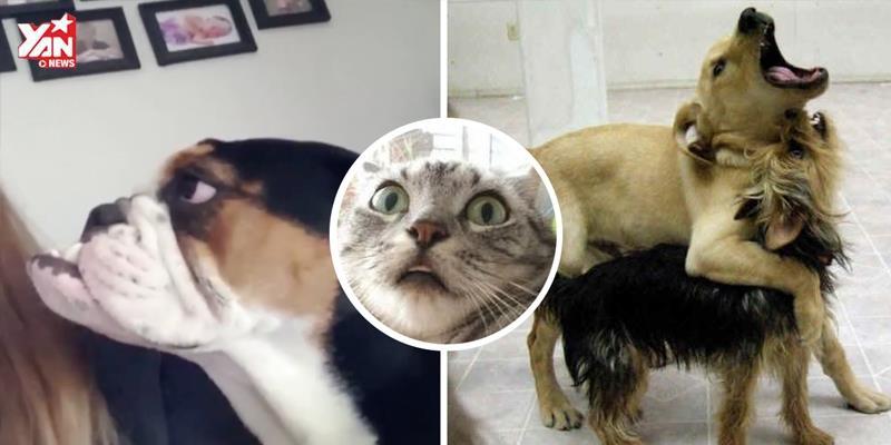 Đây là những chú chó mà lại có tiếng kêu như mèo