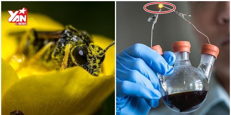 Kinh ngạc với công nghệ tạo năng lượng pin từ phấn hoa