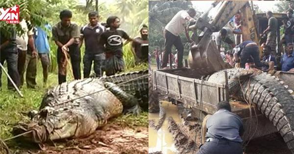 Giải cứu thành công cá sấu khổng lồ mắc kẹt dưới kênh đào