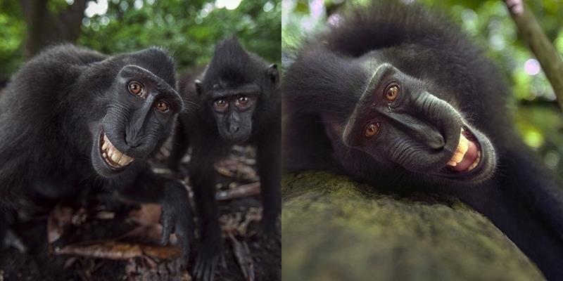 Bất ngờ với loài khỉ kì lạ biết selfie bằng điện thoại