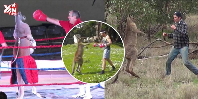 Những trận boxing siêu hài hước giữa chuột túi và con người