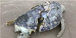 Xót xa hình ảnh xác chú rùa biển bị cứa làm đôi nằm bơ vơ trên bãi cát