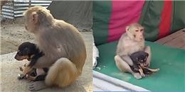 Cảm động trước 'hành vi nghĩa hiệp' của chú khỉ 'bảo mẫu'