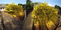 Năm mới, choáng với cây mai vàng to và đẹp lung linh Tết Đinh Dậu
