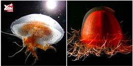 Đây là 10 loài sứa đẹp nhất hành tinh