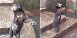 Sốc với cảnh tượng những chú gấu chó gầy trơ xương xin ăn trong sở thú