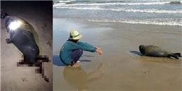 Đau lòng chú hải cẩu nô đùa với người tại Bình Thuận bị đánh chết