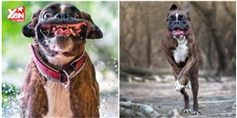 Đây là chú chó 'mặt hề' có khuôn mặt biểu cảm nhất thế giới