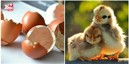 Bạn có tin là không cần vỏ nhưng trứng vẫn nở thành gà con?