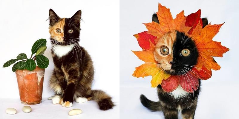 Ngộ nghĩnh cô mèo mặt có hai màu đều như Photoshop