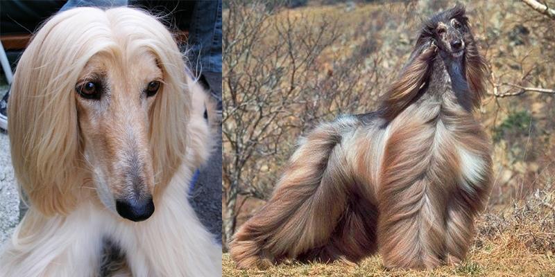 """Những chú chó sở hữu bộ lông """"chất"""" nhất quả đất"""