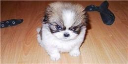 14 khuôn mặt cáu giận nhưng siêu cấp đáng yêu của các em thú cưng