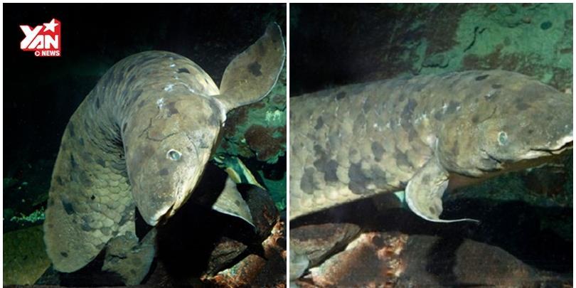 """""""Ông"""" cá phổi 90 tuổi già nhất thế giới vừa qua đời"""