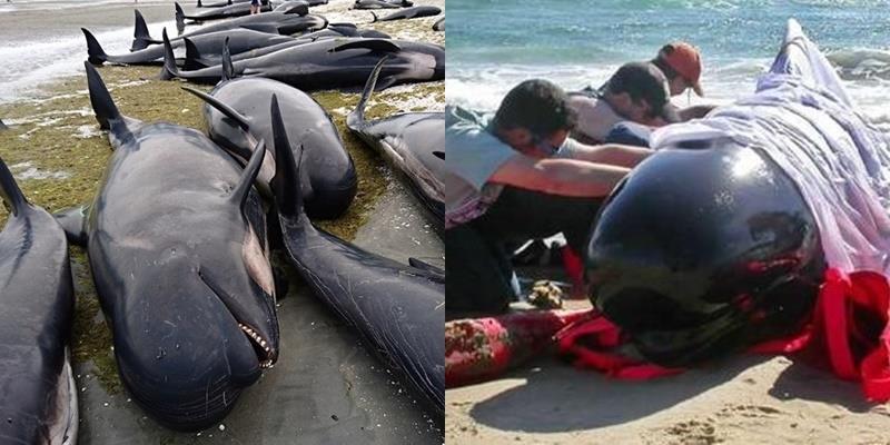 Xót xa hàng trăm chú cá voi mắc cạn trên bờ biển và chết chỉ sau 1 đêm