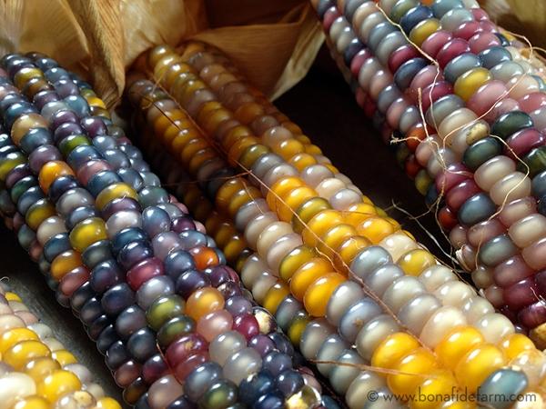 Lạ kỳ giống ngô đa màu sắc tại Mỹ