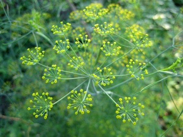 10 loại thảo mộc thiên nhiên giúp tăng kích thước vòng 1