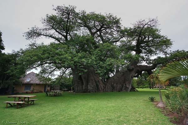 Choáng ngợp với quán bar bí ẩn trong gốc cây 6000 tuổi