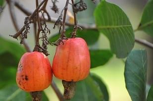 Siêu ngộ cách mọc của hoa quả