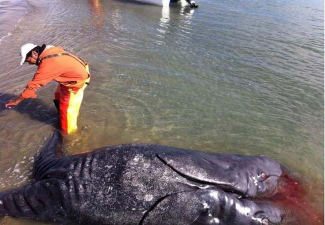 Tận mục sợ thị cá voi xám hai đầu kỳ dị