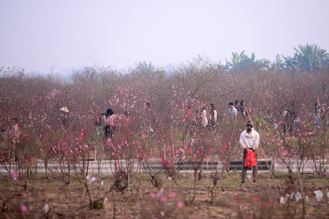 Vườn đào của người dân đang trong thời điểm nở rực rỡ nhất thu hút khá đông du khách.