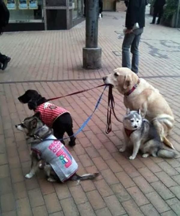 """Ngay cả chú chó này cũng tập tành """"multi-tasking"""""""